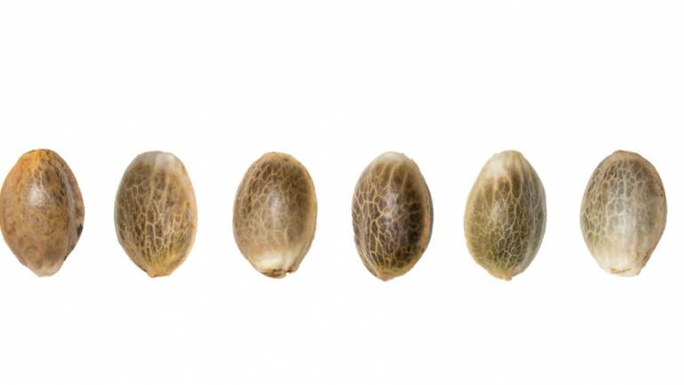 What To Know Before You Grow Cannabis Seed