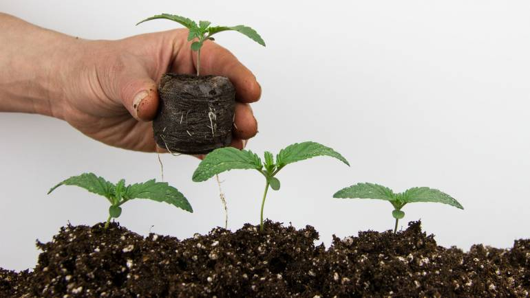 Mistakes When Germinating Cannabis Seeds
